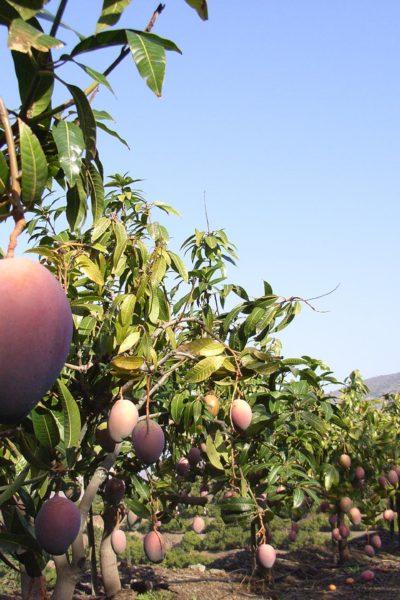 Costa Tropical Spain mangoes  farm