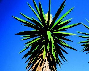 Salobreña botanica YUCA