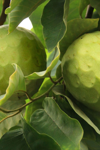 COSTA TROPICAL SPAIN AGRITOURISM CUSTARD APPLE FRUIT