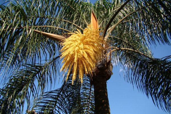coco-plumoso
