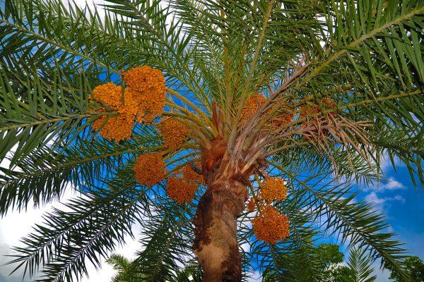 palma datilera